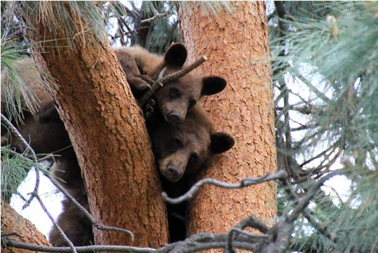 Momma bear and her cub hang out in a ponderosa pine tree near Naramata, B.C., not far from Penticton. (Kirkoski/ Amateur Photography Entry)